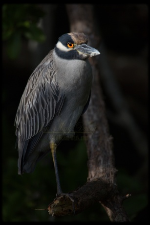Classic capture of a Yellow Crowned Night Heron captured on Christmas Day on the New River in Fort Lauderdale, FL.