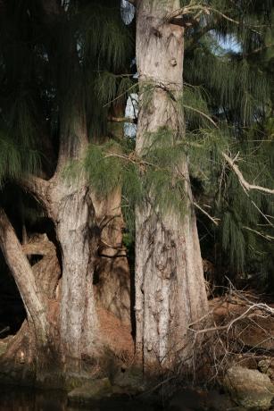 Great Cypress Tree