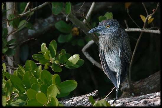 Sub-Adult Yellow Crowned Night Heron