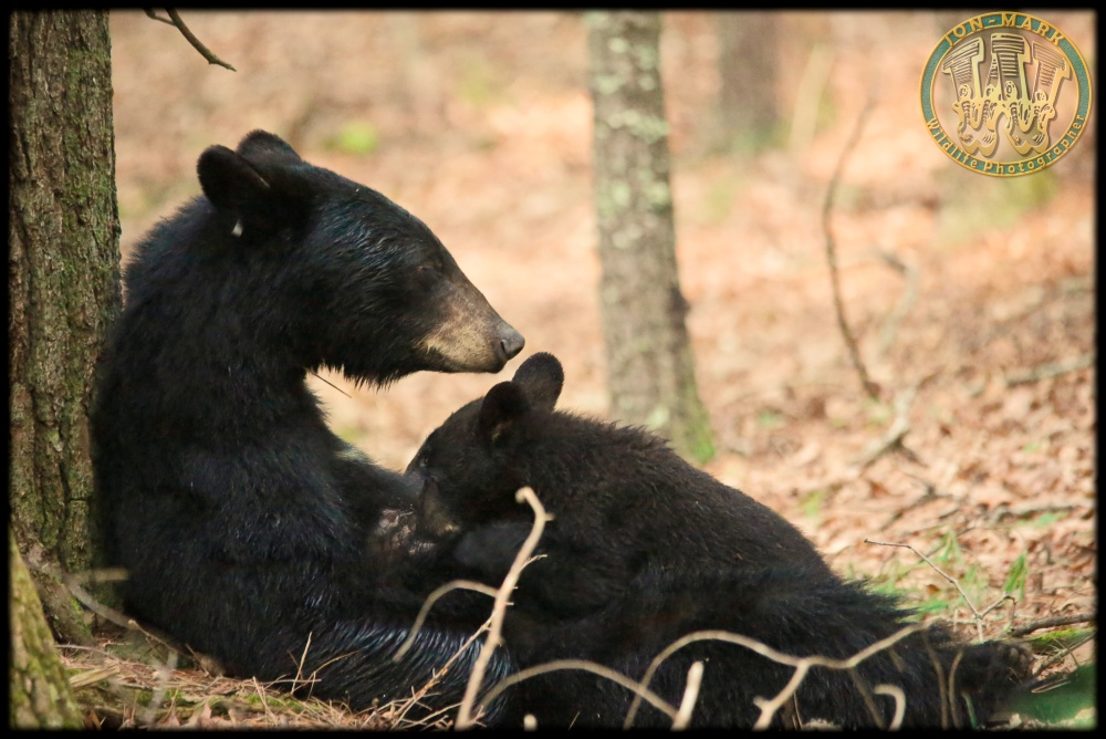 Mom's Nap, Cub's Snack
