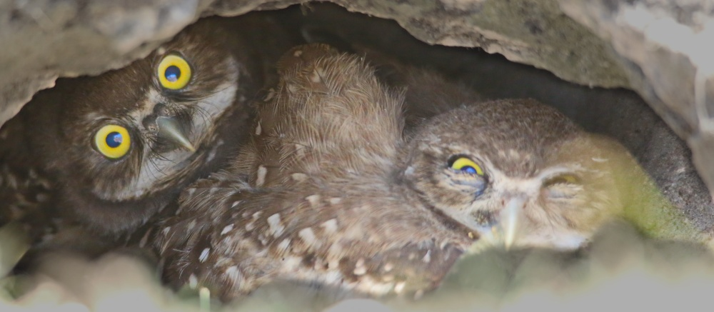 Burrow for the Owls
