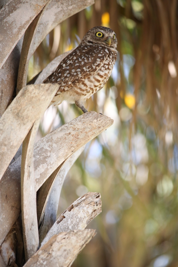 Ever watchful Burrowing Owl parent