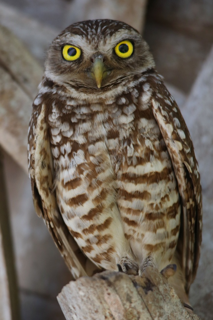 Burrowing Owl on Palm Tree